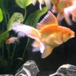Aquaponics Fish — Feeding Fish or Non-feeding Fish