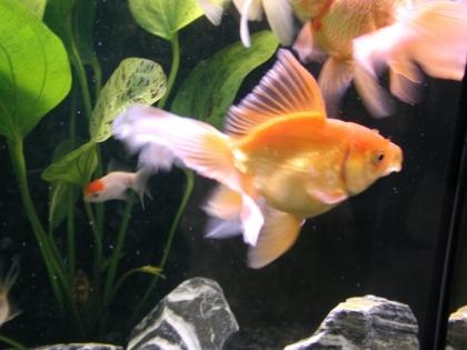aquaponics fish